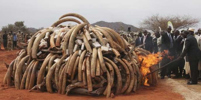 Cinq tonnes d'ivoire brûlées au Kenya, le 20 juillet 2011.