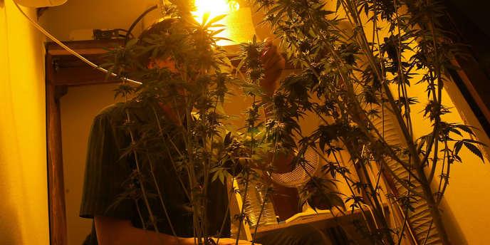 Des plants de cannabis cultivés en appartement, sous des lampes spéciales et à l'abri des regards.