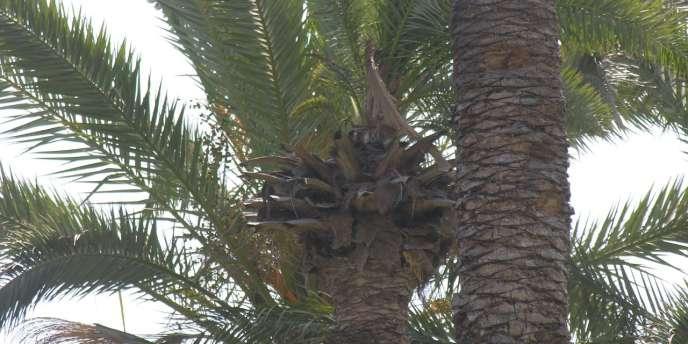 Des palmiers de l'oasis de Gabès en Tunisie.