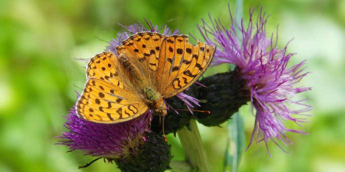 En Grande-Bretagne, le papillon moyen nacré (Argynnis adippe) a régressé en raison de la contraction de son territoire.