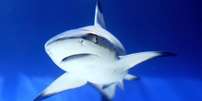 Depuis une quinzaine d'années, les scientifiques constatent une surexploitation, au niveau mondial, des requins, pêchés notamment pour la découpe d'aileron, principalement par les flottes asiatiques.