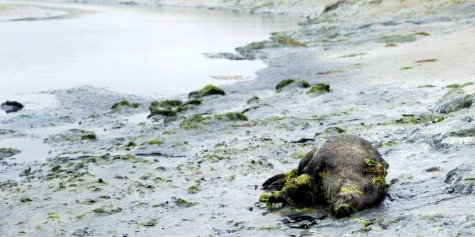 Un sanglier mort sur la plage de Morieux, dans la baie de Saint-Brieuc (Côtes-d'Armor), le 26 juillet 2011.