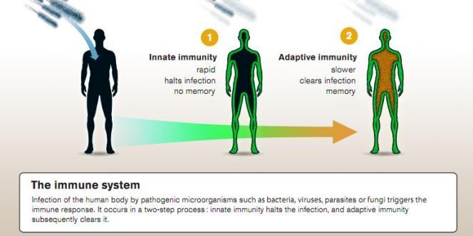 Infographie explicative du Comité Nobel sur les systèmes immunitaire inné et acquis.