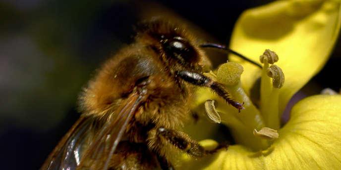 Une abeille butineuse.