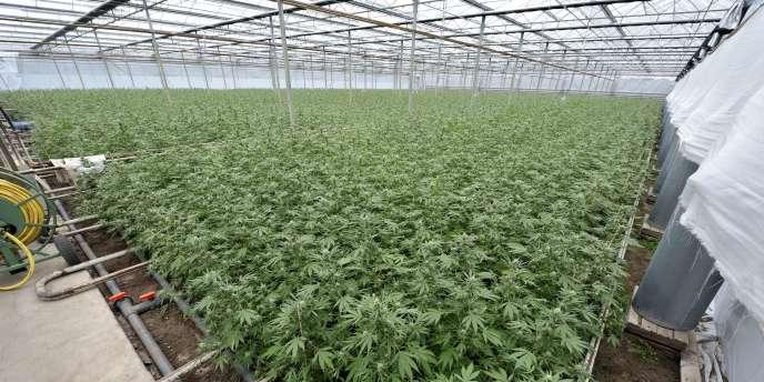Avec plus de 5000 plantations sous serre, les Pays-Bas sont, avec le Royaume-Uni, le principal producteur de cette nouvelle génération d'herbe.