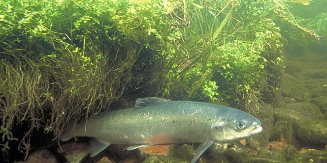 Un saumon d'Atlantique dans une ferme américaine. Il appartient à une espèce différente du plus prisé des saumons, le saumon sauvage du Pacifique.