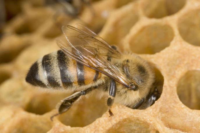 Les insecticides sont mis en cause par des ONG et la Commssion européenne dans l'effondrement des colonies d'abeilles.