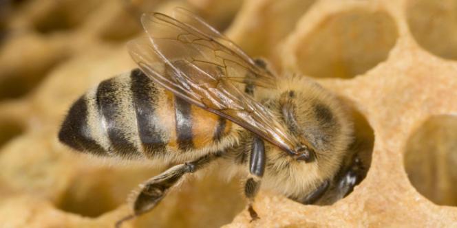Les colonies d'abeilles connaissent un déclin dramatique dans le monde depuis quelques années.
