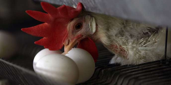 L'élevage de gallinacé en ville gagne du terrain.