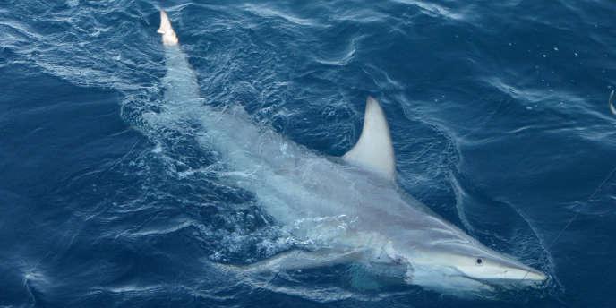 Un requin en Australie, en 2012.