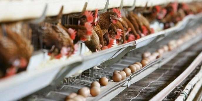 Un élevage de poules en batterie en Italie.