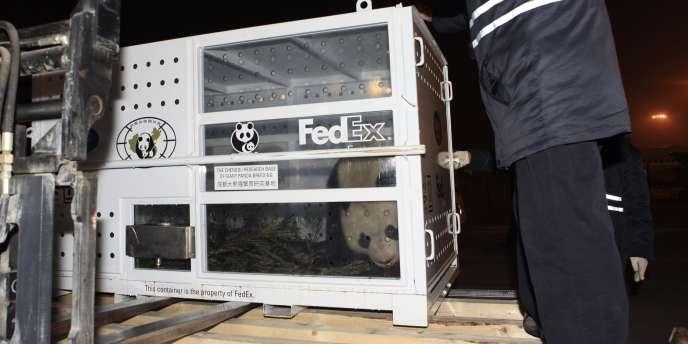 Les deux pandas géants prêtés par la Chine pour dix ans au zoo français de Beauval, Yuan Zi (