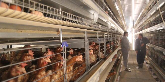 Jusqu'à la fin 2011, chaque poule disposait de l'équivalent minimal d'une feuille A4 d'espace au sol dans les élevages traditionnels en batterie.