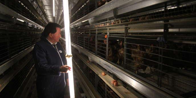 Durant leur année de ponte, les poules ne voient pas la lumière du jour.