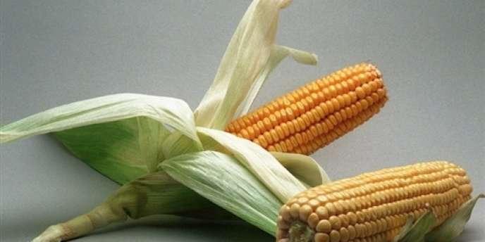 Après le MON810 de Monsanto, le maïs TC1507 de Pioneer pourrait obtenir le feu vert de Bruxelles.