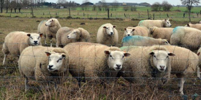 Le virus Schmallenberg affecte plus ou moins gravement les élevages bovins, ovins et caprins.