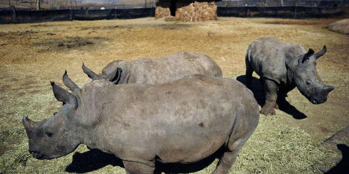 Selon WWF, deux rhinocéros sont tués chaque jour dans le sud du continent africain.