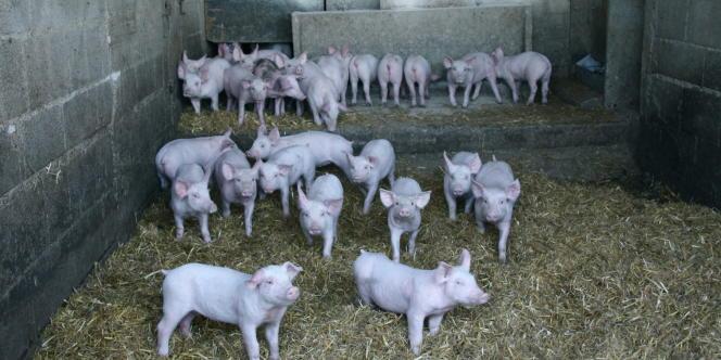 Les éleveurs porcins français, pris en tenaille entre des prix des aliments pour le bétail en forte hausse et des prix de vente qui ne suivent pas, réduisent leur activité.