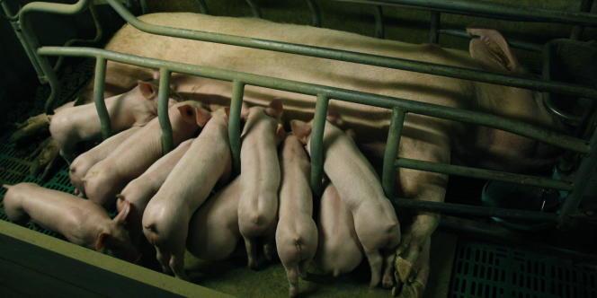 Elevage de porcs en Mayenne (France).
