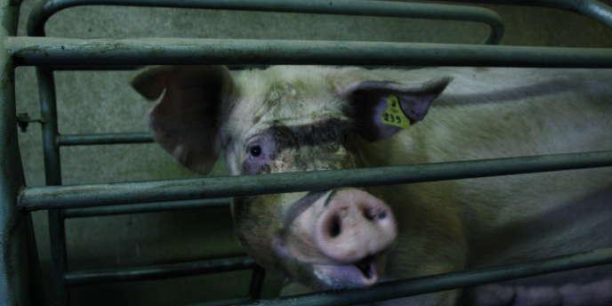 Elevage de porcs en Mayenne.