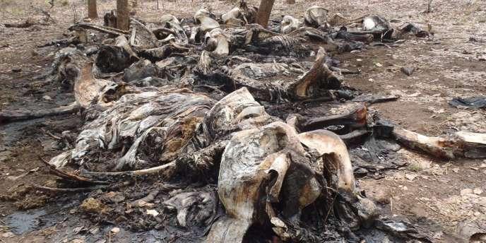 Des carcasses d'éléphants carbonisées, victimes de braconnage pour leurs défenses, dans le parc national Boubou Ndjida, au Cameroun, le 16 février 2012.