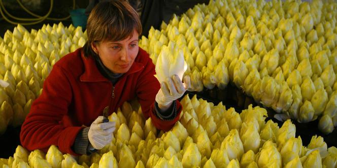 Les producteurs d'endives ont été déclarés coupables d'entente sur les prix : ils devront s'acquitter collectivement d'une amende de 3,6 millions d'euros.