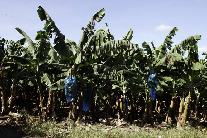 Plantation de bananes, au Carbet, en Martinique.