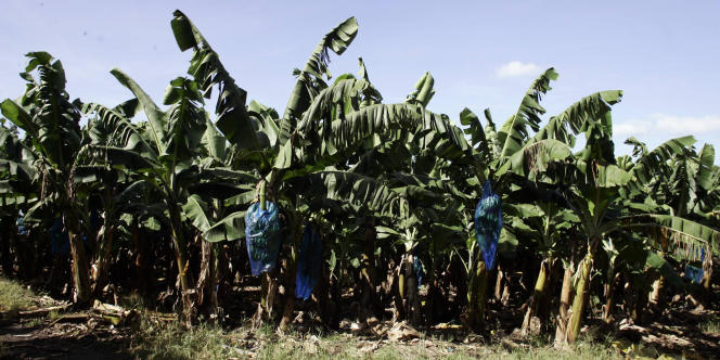 Plantation de bananes, au Carbet, en Martinique.