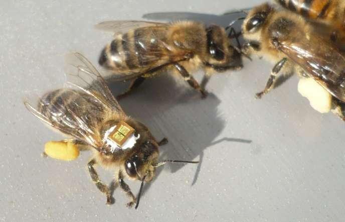 Grâce à un marquage des insectes par puce électronique à radiofréquence (RFID), il a été démontré que, sous l'effet de faibles doses de thiamétoxam (la molécule active du Cruiser), une part importante des butineuses ne retrouvaient pas le chemin de la ruche.