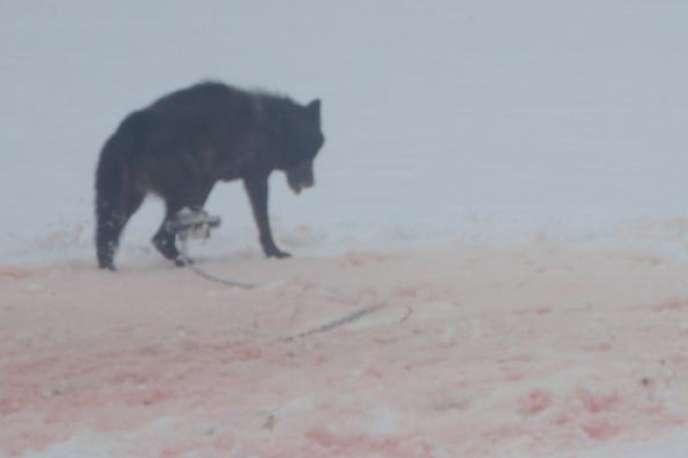 Un loup pris au piège, sur une photo postée sur Internet par Josh Bransford.