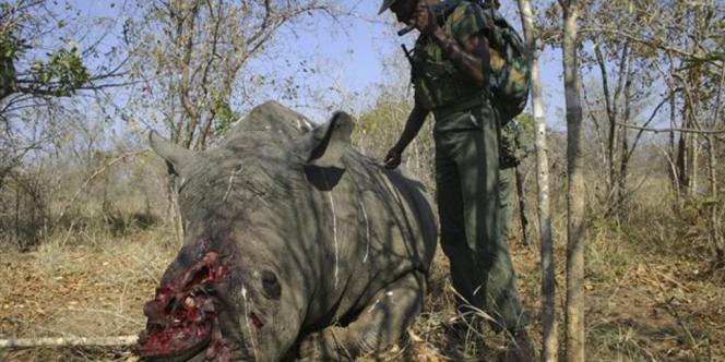 Un rhinocéros braconné dans le parc national Kruger en Afrique du Sud. Dans ses 20 000 km², près des trois-quarts des rhinocéros braconnés en 2013 ont péri.