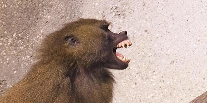 Selon une étude publiée lundi, les babouins dominants sont moins souvent malades et se remettent plus rapidement de leurs blessures.