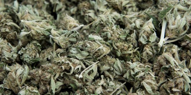 De la marijuana saisie par la police colombienne en février 2012 à Cali.