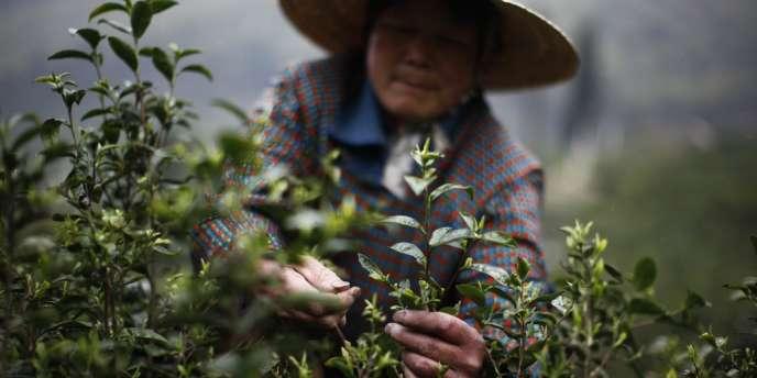 Une femme récolte les feuilles de thé dans une plantation chinoise du Zhejiang, le 9 avril 2012.