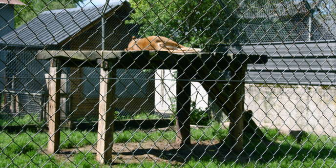 Une lionne du zoo du bois d'Attilly, dans un environnement pas suffisamment enrichi.