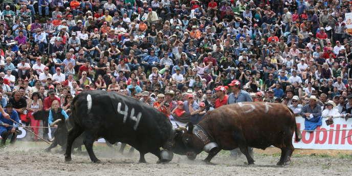 Un combat de vaches, le 6 mai à Aproz en Suisse.