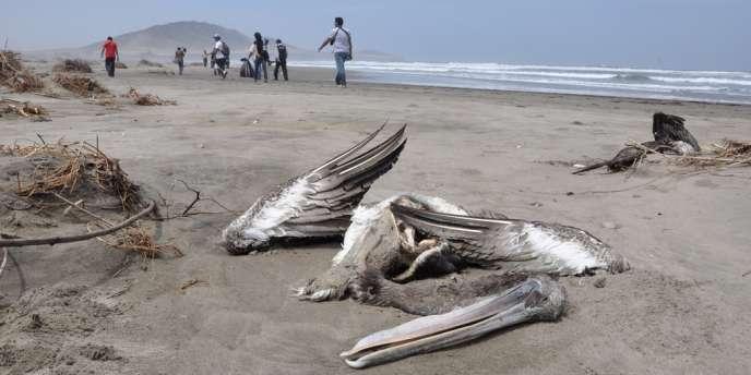Une carcasse de pélican retrouvée sur les côtes péruviennes, à Lambayeque, le 2 mai.