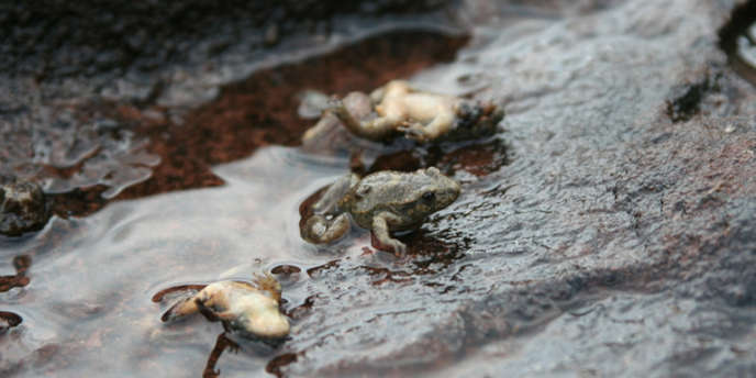 Les amphibiens sont victimes de chytridiomycose, l'infection provoquée par des champignons présents dans l'eau et le sol.