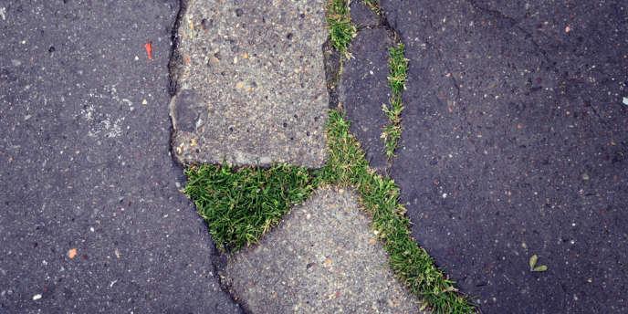 Peut-être du pâturin annuel, trop piétiné pour pousser, dans une rue de Paris.