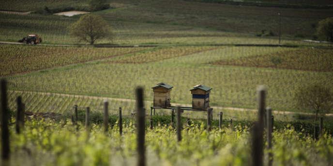 Utlisées comme indicateur naturel de bonne santé de la vigne, des ruches ont été implantées sur la colline de Corton. Les abeilles pollinisent les vignes et profitent aussi de la floraison des graminées et des fleurs des champs.