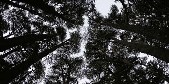 En examinant des troncs d'arbres, des chercheurs japonais ont découvert une hausse rapide et inexpliquée du taux de carbone 14 dans les années 774 et 775.