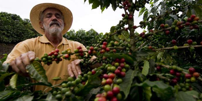 L'habitat de l'atèle – ou singe-araignée – par exemple est lentement grignoté par les plantations de café et de cacao au Mexique et en Amérique centrale.
