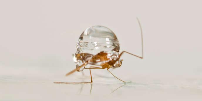 L'exosquelette du moustique lui permet d'encaisser la force de compression exercée par les gouttes d'eau