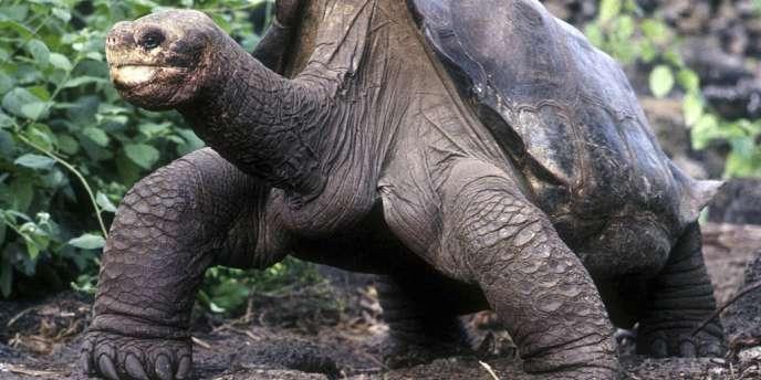 Georges le solitaire, dernier représentant de son espèce, a été retrouvé mort le 24 juin aux Galapagos.