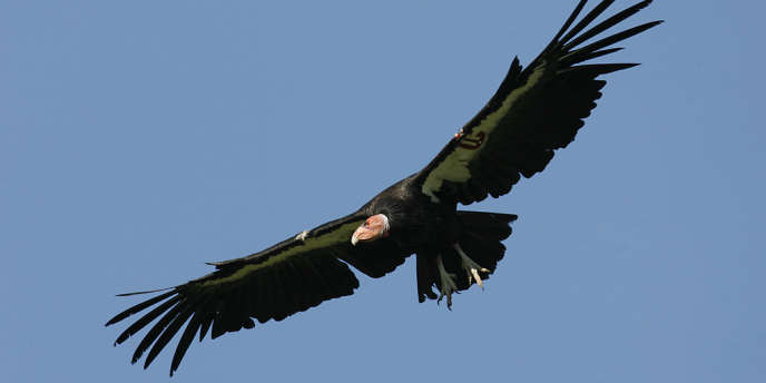 Depuis sa quasi-disparition en 1982, la population de condors de Californie est passée de 22 à environ 400 individus.