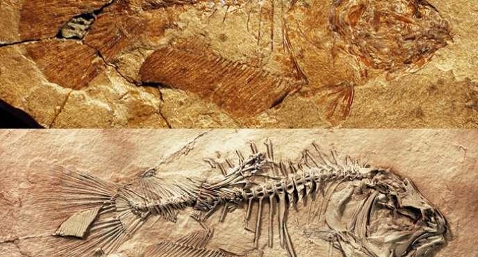 Profil droit d'«Heteronectes» avant (en haut) et après (en bas) la préparation chimique d'analyse du fossile.