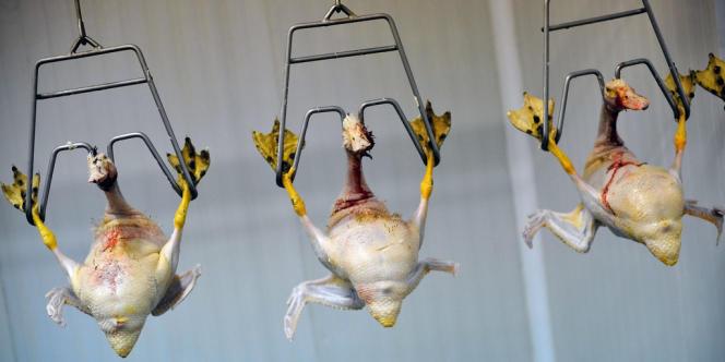 Des canards prêts pour la production de foie gras en Bulgarie.
