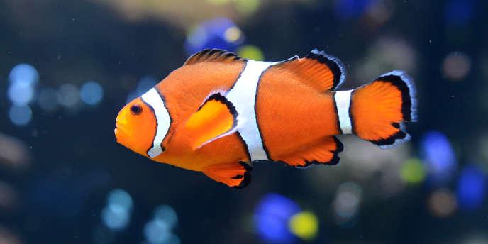Un poisson-clown.