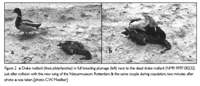 A gauche, le canard nécrophile à côté du cadavre d'un congénaire, juste après la collision. A droite, le même couple en plein accouplement, deux minutes plus tard.