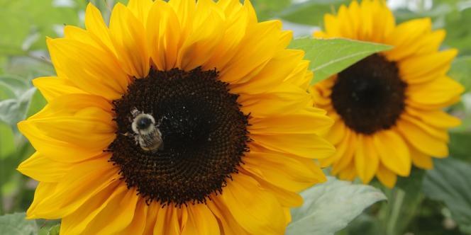 Une abeille récolte du pollen.